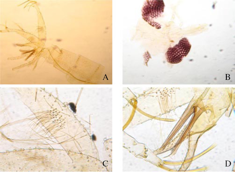 Figure 1: Male <i>P. (Adl.) kabulensis</i> Artemiev, 1978.