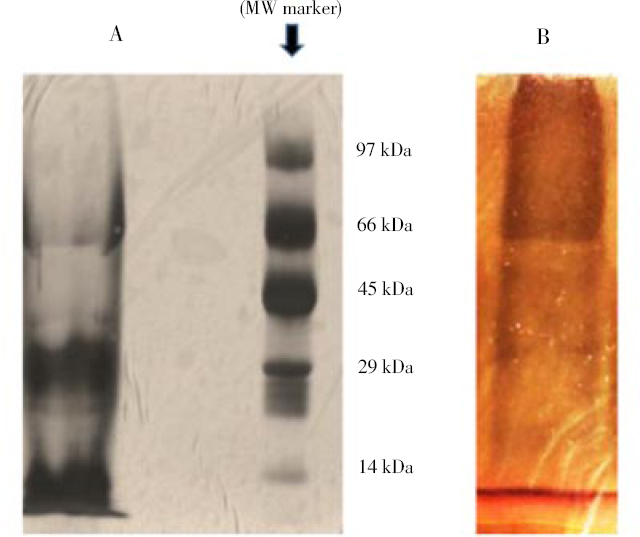 Figure 2: SDS-PAGE analysis of nacre extract.