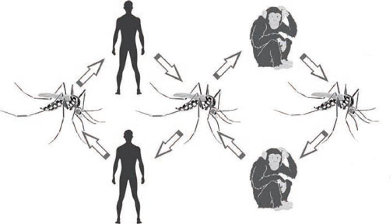 Figure 1: Sylvatic yellow fever cycle in humans and monkeys.