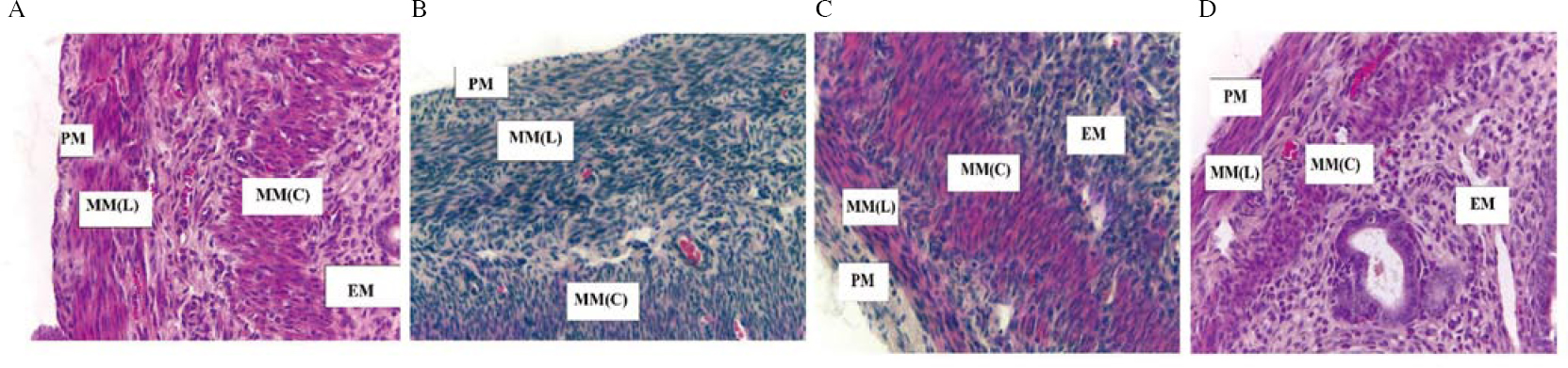 Figure 3: Hematoxylin and eosin-stained tissue section of myometrium at 400× magnification. Mice were administered with (A) vehicle control (VC), (B) BPA, (C) <i>Gracilaria changii</i> (GC) and (D) GC + BPA. The different areas of uterus in the image are labeled with PM as perimetrium, MM(L) as longitudinal myometrium, MM(C) as circular myometrium, and EM as endometrium (<i>n</i>=8)